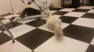 2 ontspannen Syberen in de salon