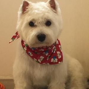 Westb Highland White terrier geplukt